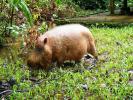 Остров Борнео. Заповедник Бако. Бородатая свинья