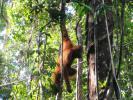 Остров Борнео. Реабилитационный центр орангутанов