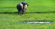 Остров Лангкави. Рисовые поля