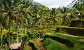 Остров Бали. Рисовые террасы в Тагеллаланге