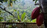 Остров Бали. Плоды какао