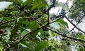 Остров Бали. Плоды кофе