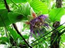 Остров Бали. Цветок маракуи