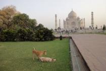 Бездомные собаки пугают туристов у Тадж-Махала