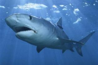 У побережья Шарм-эль-Шейха вновь замечена акула
