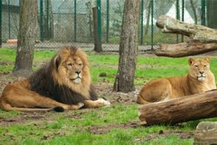В крымский сафари-парк львов пустили автобусы