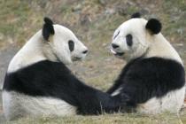 Токийский зоопарк возобновил работу с показа панд