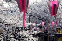 Токио утопает в цвету сакуры