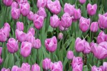 В Нидерландах расцвели 7 миллионов тюльпанов